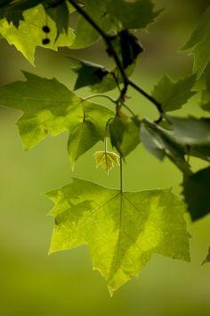 MEC leaf