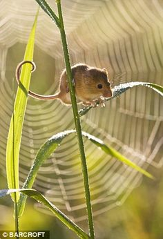 A cobweb creates a stunning backdrop as a mouse perches on canary grass, photo by jean-Louis Klein & Marie-Luce Hubert/Barcroft Media