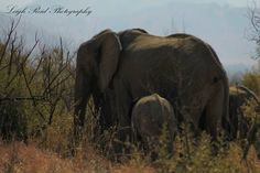 Elephant Family, Kruger National Park, African Elephant, Lonely Planet, Elephants, North West, Travel Guide, South Africa, Planets