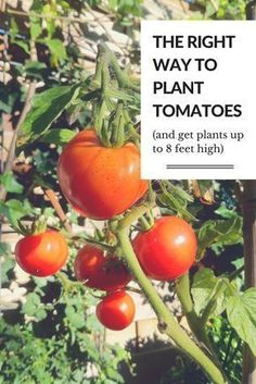 Grow Organic Tomatoes The right way to plant tomatoes (and get plants up to 8 feet high) Tips For Growing Tomatoes, Growing Tomato Plants, Growing Tomatoes In Containers, Grow Tomatoes, Cherry Tomatoes, Baby Tomatoes, Dried Tomatoes, Tomato Growers, Tomato Pruning