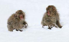 Kunstwerk: 'As Innocent As Can Be (Japanse Makaken)' van Harry Eggens Monkey Park, Ape Monkey, Primates, Mammals, Japanese Macaque, Nagano, Twin Brothers, Orangutan, National Parks