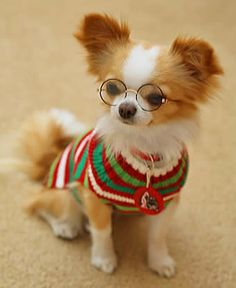 "I don't usually pin ""styled"" photos, but this one is so cute and the Chihuahua is a nice representative of the breed. ;)"
