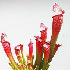 Sarracenia leucophylla  #piantecarnivore #carnivore #carnivorousplant #sarracenia #leucophylla #botany #eatingbugs #love #nature #sunny #spring #instaplant #plant #leaves #foglie #giardino #giardinaggio #garden #instabotany #beautiful #lovely #magntstinsett #redngreen #instalove #pitcherplant ( # @joe.lula )
