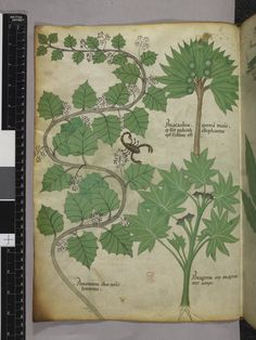 """Plants and a scorpion, in """"Herbal"""", folio 3v, Lombardy, Italy, ca. 1440, British Library Sloane 4016"""