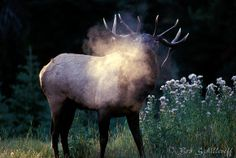 Rocky Mountain Elk | Bob Schillereff Photography | Elk | Rocky Mountain Elk 4017