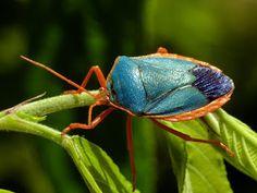 Shield bug from Ecuador, Edessa rufomarginata
