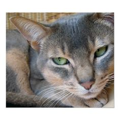 blue abyssinian cat My Puddy is a blue aby The Regal dude Named Cosmo