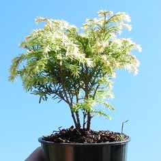 Miniature Garden Tree Moonfrost Canada Hemlock, Tsuga canadensis 'Moonfrost'