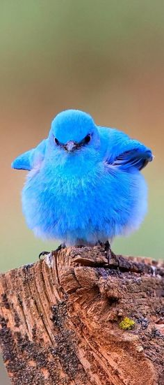Fluffy Blue Bird