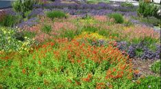 Perennial drought resistant flower table of information