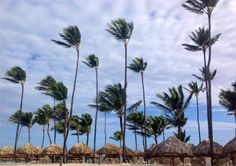 colonial palm trees - Google Search