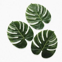 Palm Leaves - Party Decorations & Room Decor Oriental Trading Company http://smile.amazon.com/dp/B005I4YZPY/ref=cm_sw_r_pi_dp_DkF5wb1D515D4