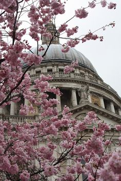 St. Paul's Cathedral hidden by cherry blossom
