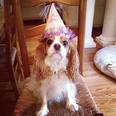 King Charles Puppy, King Charles Spaniel, Cavalier King Charles, Party Animals, Animal Party, Dog Birthday, Happy Birthday, Puppy Mills, Spaniels