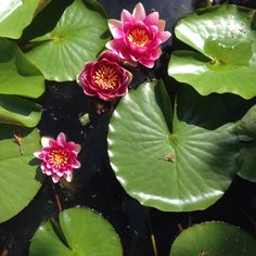 lily pad, water lilies