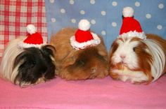 Guess what my piggies will be wearing in this years Cmas card?! Poor things, they never had a chance with me as their mom! :)