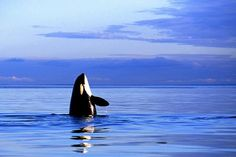 Orca Spy-Hop Photo by Ken Howard � National Geographic Your Shot