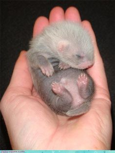♥ his little ferret feet.oh my goodness gracious. I just want to huge it and kiss it and call it honey boo boo Hamsters, Baby Ferrets, Pet Ferret, Cute Ferrets, Cute Creatures, Beautiful Creatures, Animals Beautiful, Animal Pictures, Cute Pictures