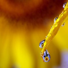 sunflower in a drop