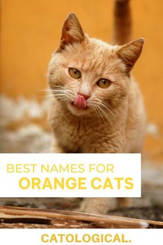 If you happen to be one of those lucky people, who own a ginger kitty, then you should definitely give it a worthy name. I've compiled a list of 200  cat names for orange cats, which are funny, unique, punny, inspired by pop culture, suitable for siblings… the list goes on and on. #CatNames #PetNames #CatIdeas #CatNameTips #PetNameIdeas Kitten Names Boy, Funny Cat Names, Cute Cat Names, Pet Names, Funny Cats, Orange Kittens, Cats And Kittens, Japanese Cat, Kitten Care
