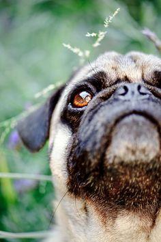 Beautiful shot of a beautiful Pug <3