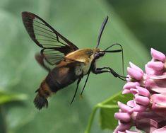 Sphinx Moth Caterpillar Related Keywords & Suggestions - Sphinx ...