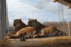 Harry and Kora are showing some brotherly love! @NTSGreen #bigcats #tigers