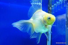 28 Best fishes images in 2015 | Aquarium Fish, Goldfish