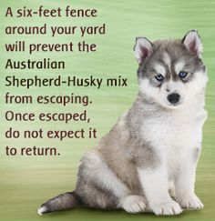 Australian shepherd-husky mix breed information