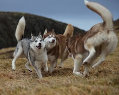 Husky  by olgeir