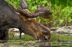 Algonquin Park - Moose