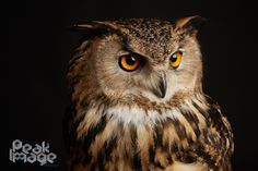 #eagle #owl #studio #portrait #photography
