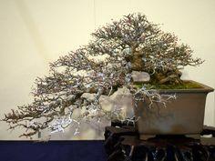 野バラ盆栽-Wild-Rose-bonsai-tree-003.JPG