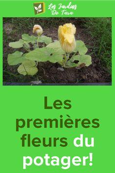 Les premières fleurs du potager!