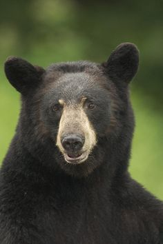 Portrait Of Black Bear Minnesota Summer Photograph
