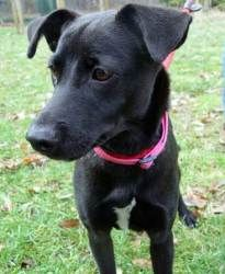Pics For > Whippet Black Lab Mix