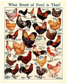 Varieties of Fowl old original retro vintage print Chicken Cock Fowl Hen Bantam Fancy Chickens, Keeping Chickens, Chickens And Roosters, Raising Chickens, Chickens Backyard, Farm Animals, Animals And Pets, Cute Animals, Breeds Of Cows