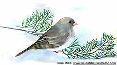Dark Eyed Junco for Organic Gardening Magazine by Gina Mikel