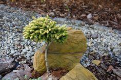 Świerk kaukaski Tom Thumb Gold Toms, Herbs, Garden, Flowers, Plants, Garten, Lawn And Garden, Herb, Gardens