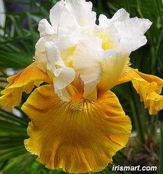 "~""Tour De France""  Tall Bearded Iris"