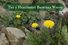 The 5 Healthiest Backyard Weeds Look at Farm: Lambs Quarter - spring thru early fall Dandelion - spring thru summer Stinging Nettle - spring thru summer Plantain - spring