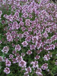 Plants for Soil Retention Thymus Spicy Orange Creeping Thyme Sloped Garden, Ground Cover, Echinacea, Growing Grass, Garden Problems, Flowering Ground Cover Perennials, Perennials, Phlox Plant, Asclepias Tuberosa