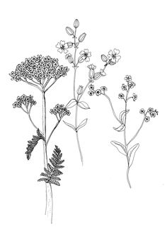 british wild flowers botanical drawing - Google Search