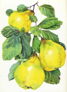 Mary Woodin, illustrator, at The Artworks Illustration Agency Watercolor Fruit, Fruit Painting, China Painting, Watercolor Flowers, Watercolor Paintings, Vegetable Illustration, Fruit Illustration, Botanical Illustration, Botanical Drawings