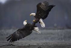 It's not unusual to see bald eagles on Vancouver Island