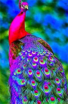 A exotic peacock