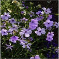 Silene coeli rosea 'Blue Angel' (hemelroosje)