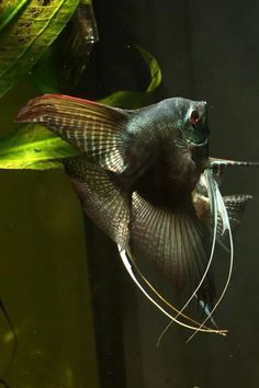 I have this fish in my aquarium! JC this is the coolest fish i have ever seen in my entire life. Tropical Freshwater Fish, Tropical Fish Aquarium, Freshwater Aquarium Fish, Underwater Creatures, Underwater Life, Salt Water Fish, Aquascaping, Aquariums, Paludarium