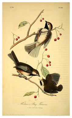 009-Carboneros de la bahia de Hudson- Vol2-1840-The birds of America…J.J. Audubon - Cesar Ojeda
