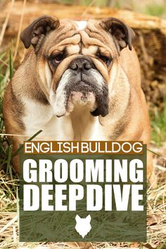 The English Bulldog is a breed that is full of character, and their short coat helps them appeal to many. If you are considering this breed and wonder what all an English Bulldog needs as far as grooming to be kept looking their best, you have come to the right video. We will cover brushing, bathing, and more. Best Dog Breeds, Best Dogs, French Bulldog Breed, Dog Breed Info, The Perfect Dog, Medium Sized Dogs, Dog Behavior, Dog Training Tips, Dog Harness